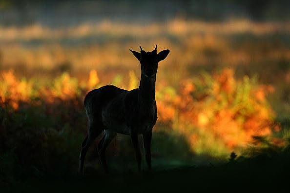 Young Buck In Silhouette