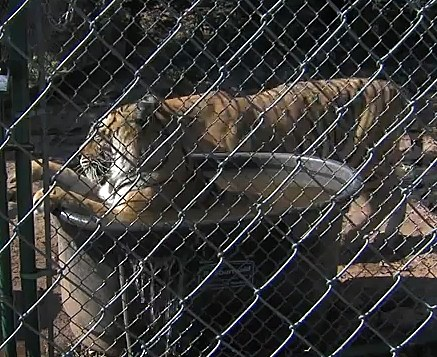 YouTube Bengal Tigers Try to Beat the Heat
