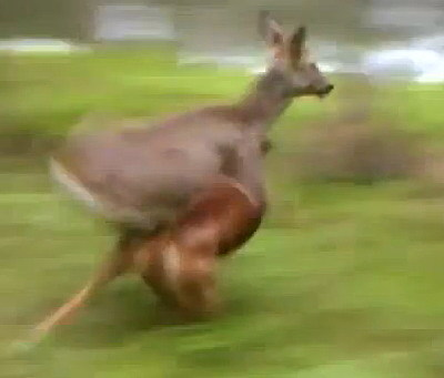 Deer Runs Over Boxer