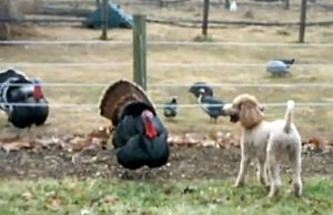 Dog Chasing Turkeys