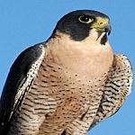 YouTube Peregrine Falcon