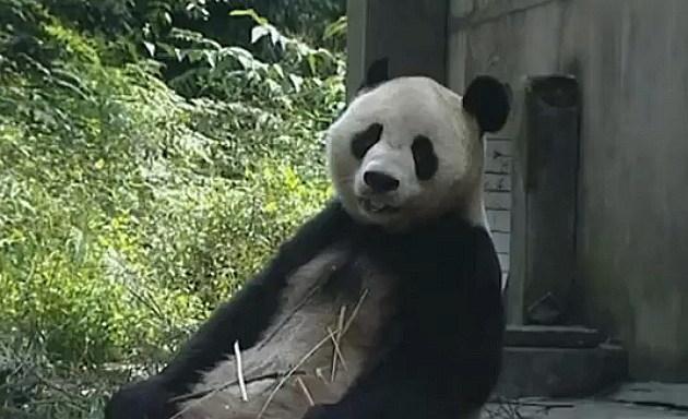 Tian Tian lounging