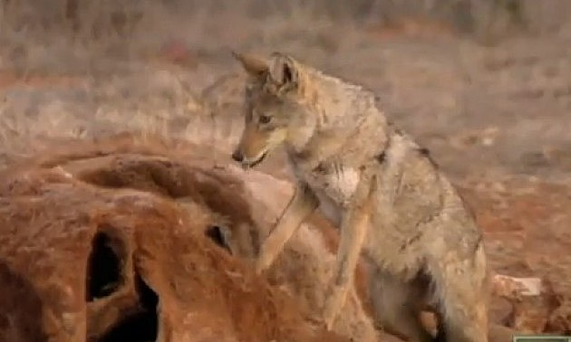 Coyote on a cow kill