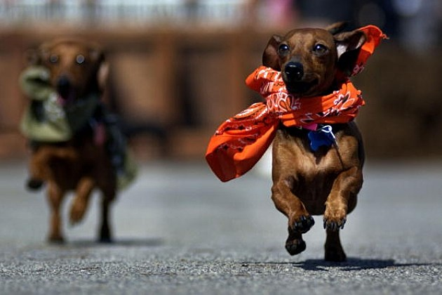 Dachshunds Racing