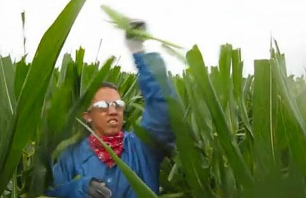 Detasseling corn