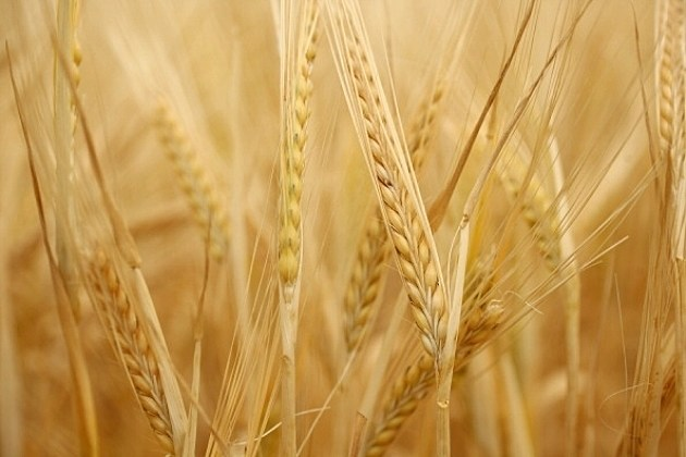 Wheat is grown in dry conditions