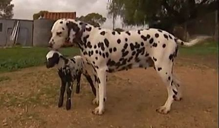 orphaned lamb and dalmation