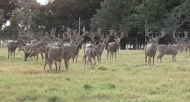 Texas Monster Deer lots of them
