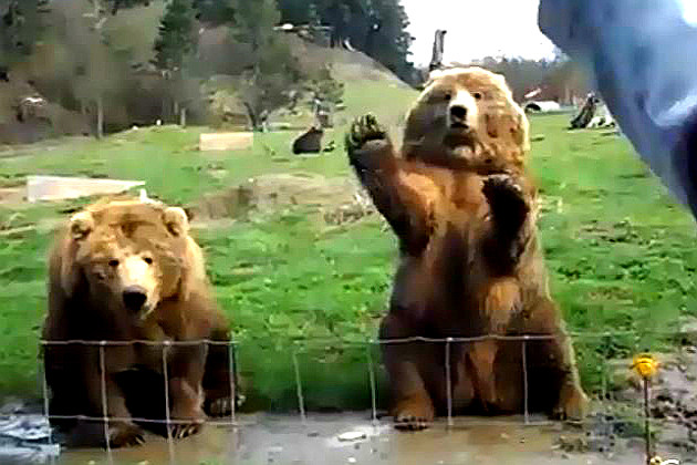 Bears waving