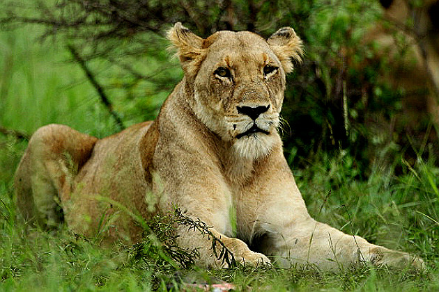 Lioness lies in wait