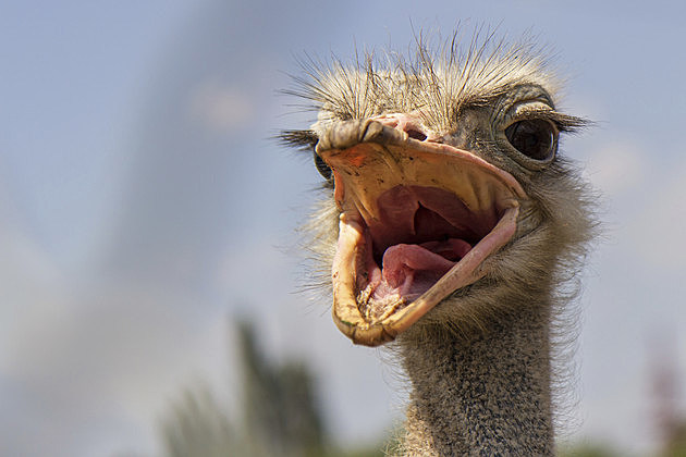 Screaming ostrich